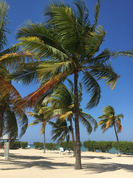 Jamaican palm trees