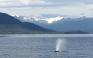 Whale in Alaska